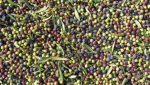 depositphotos_105844330-stock-photo-fresh-olive-fruits
