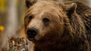 arktouros-bear-untitled